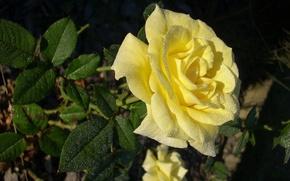 Желтая,  чайная,  роза