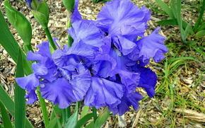 цветы,  ирисы,  синева