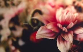 fiore, Macro, makrosemka, rosa