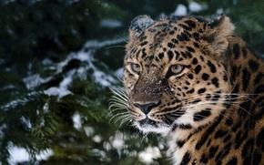 Leopard, snow, spruce