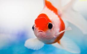 Золотая,  рыбка,  аквариум
