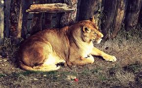 Tiger, Safari, Zoo