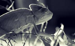 geckos, lizard, macro