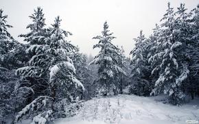 Abete, inverno, foresta, neve