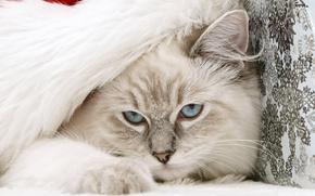 gato, de ojos azules, capucha, Pap Noel