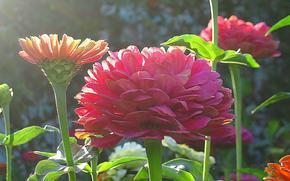 Fleurs, zinnias, t, jardin