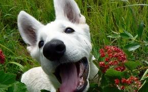 щенок,  пёс,  собака,  белый