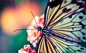 бабочка,  макро,  лето