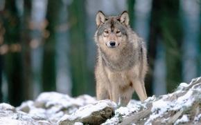wolf, king, Siberia