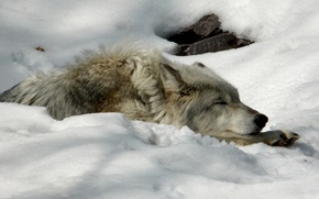 animals, wolf, snow, winter