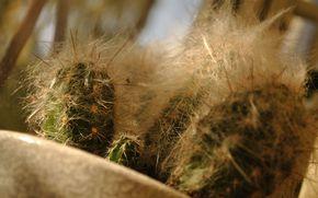 cacti, prickly, large