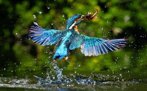 Kingfisher, boom, of water