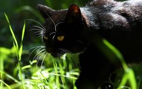 Черный,  черный,  кот