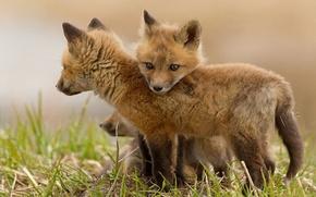 trs, pequeno, raposa