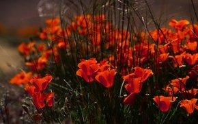 Papaveri, fiori, Buds, Petali, rosso, erba, natura