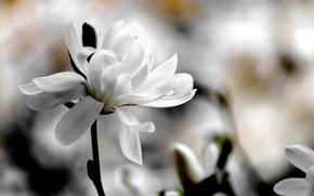 магнолия,  белый,  цветок,  фон,  размытость,  весна,  макро,  цветы