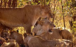 тигры,  львы,  семейство,  клыки,  природа,  семья