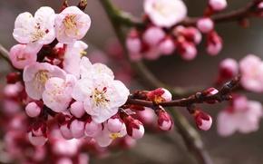 сакура,  цветы,  вишня,  цветение,  ветка,  бутоны,  лепестки,  розовые,  белые,  весна,  природа