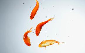fish, water, aquarium, goldfish