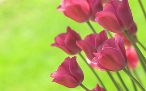 Tulips, bright, lime, background, spring, Flowers