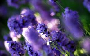лаванда,  цветы,  поляна,  растения,  фиолетовый,  цвет,  свет,  блики,  размытость,  макро