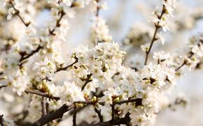 вишня,  цветение,  весна,  цветы,  белые,  лепестки,  ветки,  нежность,  красота,  макро