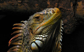 the picture., animal, reptile, monitor