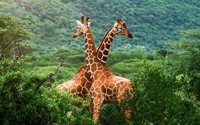 жирафы,  африка,  саванна,  зелень