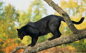 black jaguar, panther, tree