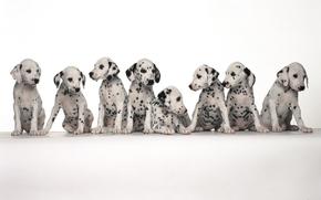chiens, Place, Dalmatien, s'asseoir