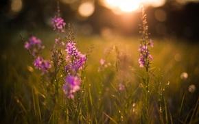 природа,  поляна,  цветы,  вечер,  лето,  солнце,  закат,  свет,  лучи,  блики,  травы,  растения,  фон,  обои
