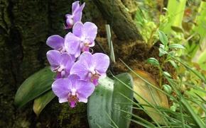 орхидея,  сиреневая,  фаленопсис,  цветы,  листья,  роса,  капли,  лес,  красота