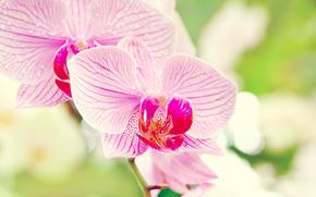 орхидея,  макро,  фаленопсис,  цветок