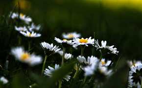 Flowers, Chamomile, meadow, Plants, grass, bloom, background, wallpaper