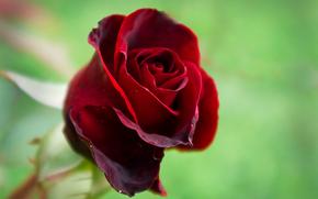 rosa, natura, flora, bellezza, rosso