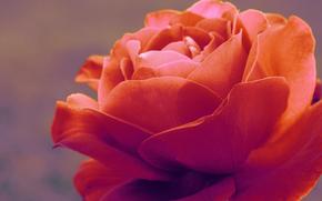 rosa, flora, Macro, tenerezza