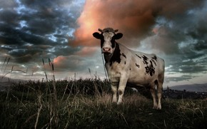 cow, clouds, field