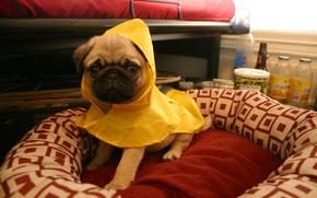 мопс,  щенок,  желтый