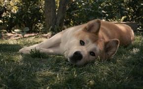 собака,  хатико,  пёс,  рыжий,  ожидание,  грусть