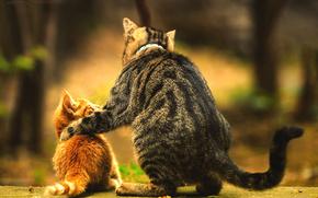 животные,  котенок,  кот,  молодой,  взрослый,  отеческая,  забота,  наставник