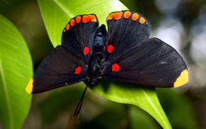 butterfly, black, large, foliage