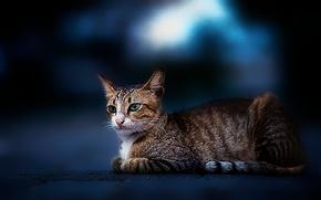 gato, zeoenye, ojos