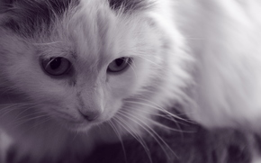 gato, Color blanco, Animales