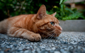 gato, Kote, rojo, pies