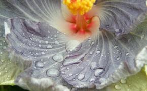 цветок,  капли,  макро