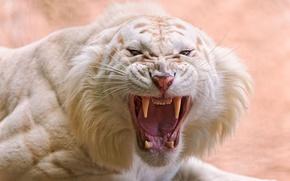tigre bianca, fauci, canini
