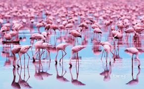 animals, Birds, flamingo