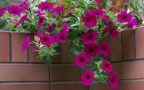 цветы,  кирпич,  угол,  петуния,  горшок