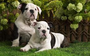 Cani, Cuccioli, Bulldog inglese, erba