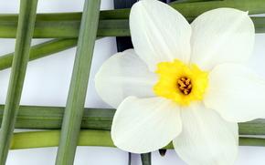 Flowers, flower, stebel, green, white petals, yellow, grid